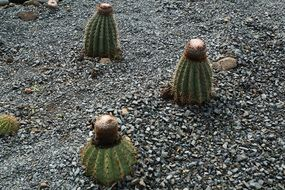 cacti on stones in the british virgin islands