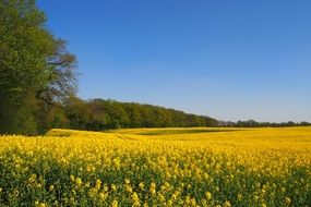bright yellow rapeseed field against a background of green forest