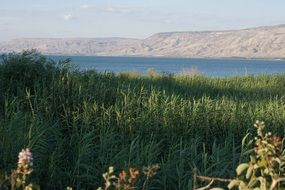 Reed thickets in front of Sea Of Galilee, Israel
