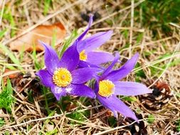 Purple pasque flowers blossom