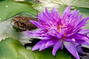 frog near a purple water lily on the water close up