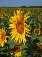 cultivation of sunflower