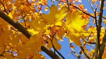 yellow foliage on a tree in golden autumn