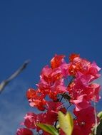 bougainvillea is an exotic plant