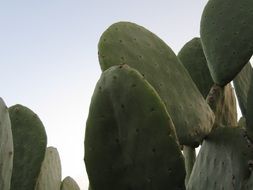 Cactus Prickly Pear Spur Green