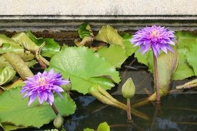 purple water lilies with buds on the water