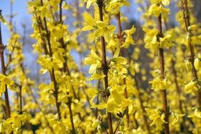 golden bells of forsythia