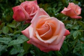 incredible beauty Light Red Rose