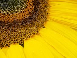 delicate yellow sunflower petals