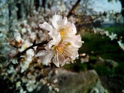delicate flowers on an almond tree