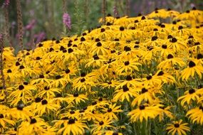 thickets of yellow echinacea
