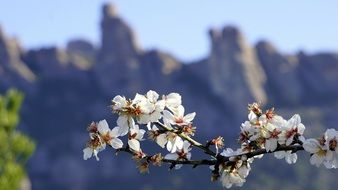 Beautiful blooming flowers on the almond tree