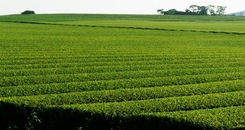 green tea plantation on the field