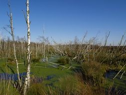 dry Birches in Swamp overgrown with duckweed