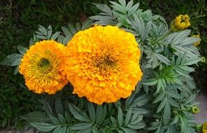 spherical yellow marigold flowers closeup