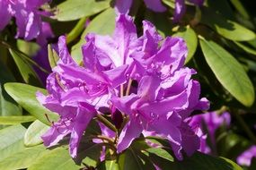 rhododendron flowers in summer