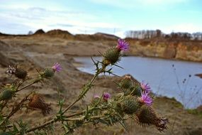 purple thistle on a pond background