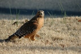 red-tailed hawk on dry grass close-up