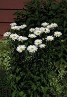 white daisies among green bushes near the wall