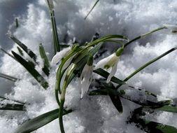 snowdrops under the snow