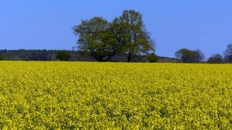 incredibly attractive Oilseed Rape