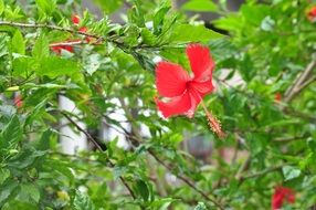 bush of hibiscus with red flowers