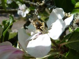 bee on an apple tree flower