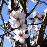 Almond flowers on tree branches