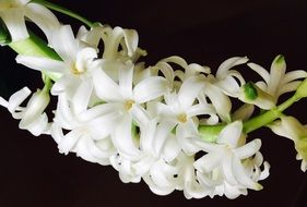 white spring hyacinths on a black background