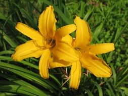 Daylily or Mexican Sunflower