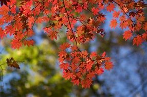 red leaves on autumn maple