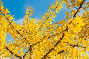autumn yellow leaves on a tree