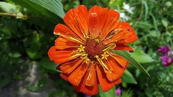 orange zinnia in the garden