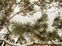 snow-covered coniferous branches