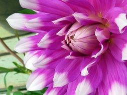 detail of Dahlia flower, pink petals with white edges