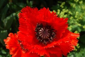 incomparable Poppy Red Nature