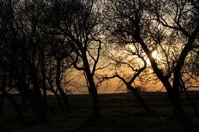 dark silhouettes of trees on a background of yellow sunset