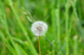 dandelion with fluffy seeds on a high stalk in a green meadow