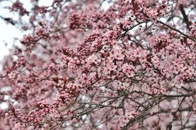 pink flowers on tree branches