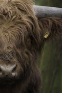 portrait of a scottish highlander cow