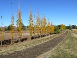 country road along yellow poplars