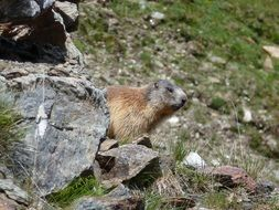 wild marmot in South Tyrol