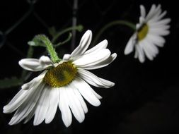two meadow daisies on a dark background