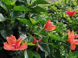 red Hibiscus Flowers on bush