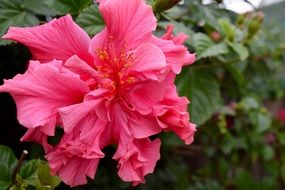 pink hibiscus flower on a green bush