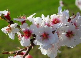 almond tree branch with white flowers