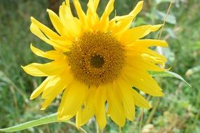 incomparable Sun Flower Close