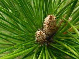 coniferous branch with buds