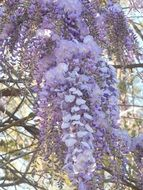 blooming wisteria as a decoration of the park