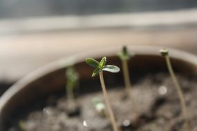 Seedlings of cannabis